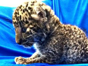 Imagen del cachorro de leopardo encontrado