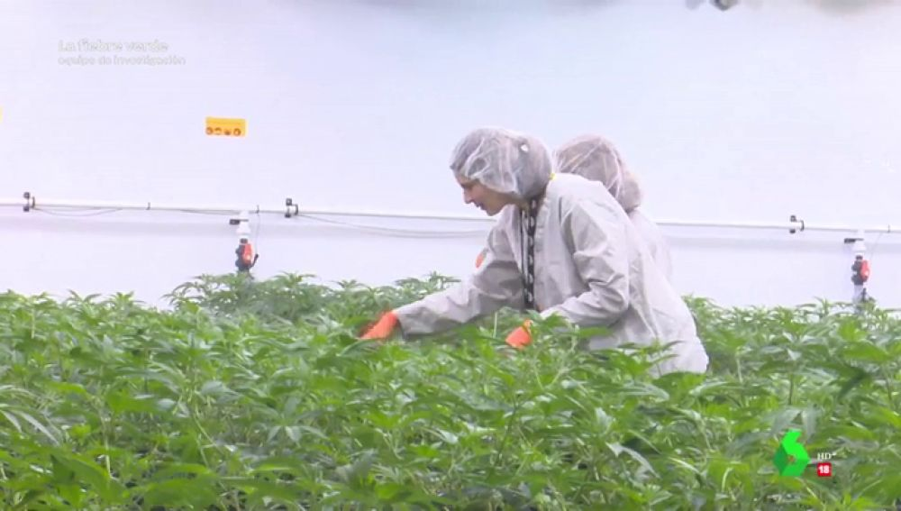 Imagen de una plantación de marihuana en Canadá