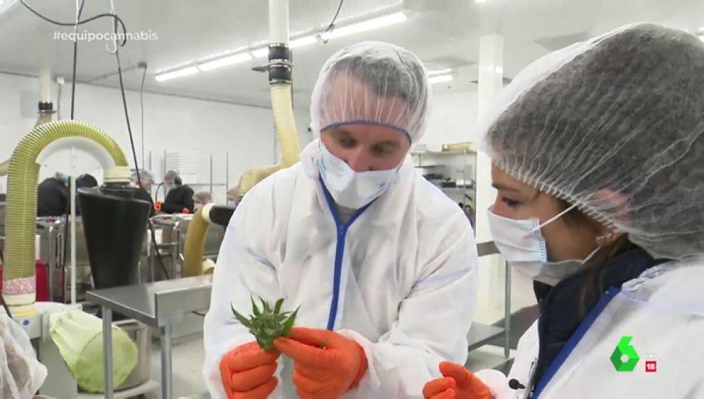 La plantación de marihuana en Canadá, un negocio valorado en 21.000 millones de euros