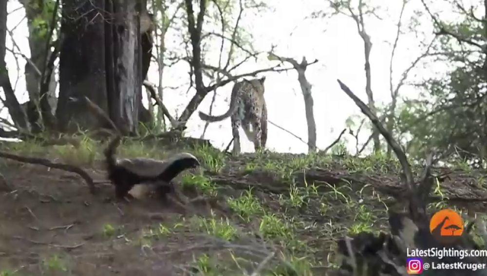 Un tejón ataca y ahuyenta a un leopardo después de que intentase cazar a su cría