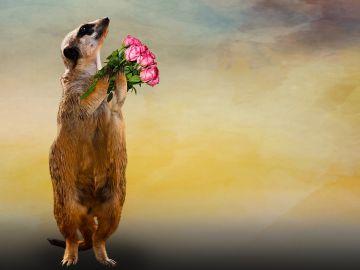 Un suricata con ramo de rosas