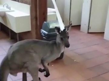 Sorprendentes imágenes: entra a un baño público y se encuentra con un canguro comiendo papel higiénico