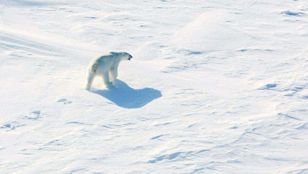 Oso polar en ciudad rusa del norte