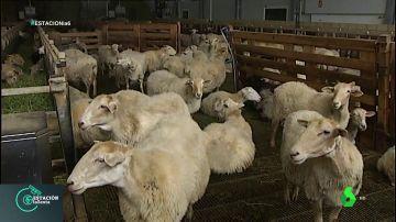 Examen de pastores: así se aprende todo lo necesario para cuidar y vivir de las ovejas
