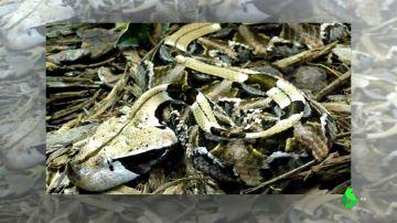 Una víbora de gabón suelta por Hondarribia: la broma de una vecina que llegó demasiado lejos