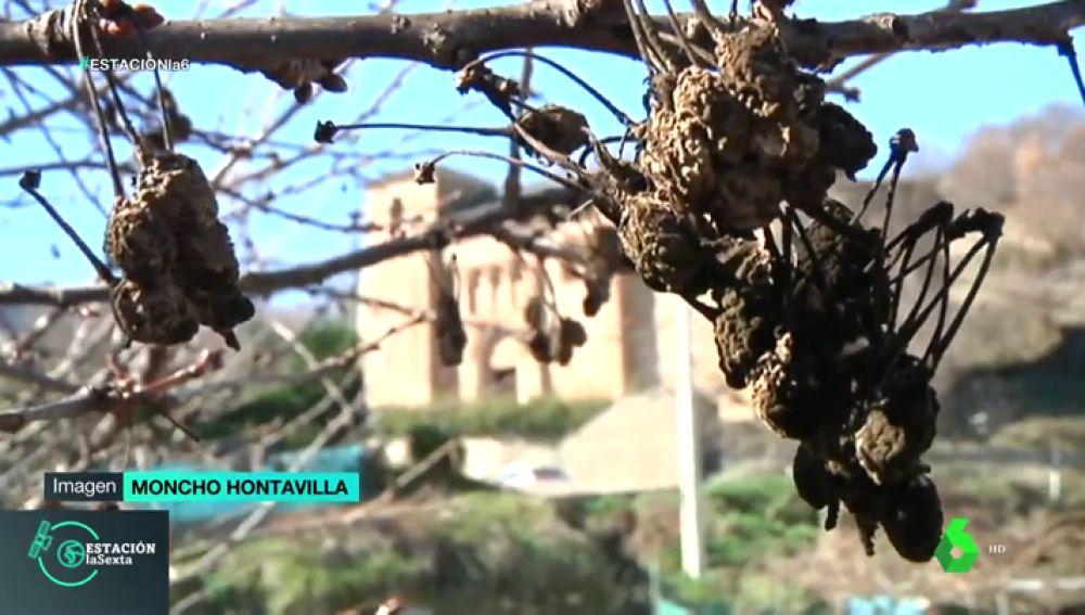 Las altas temperaturas adelantarán las cerezas del Bierzo: estarán listas para comer desde principios de abril