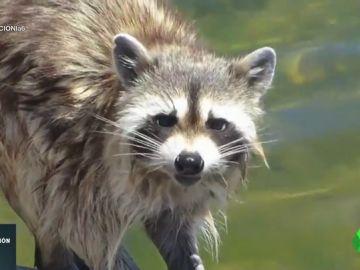 Desde mapaches hasta iguanas: los caprichos como mascotas que acaban en centros de conservación de animales
