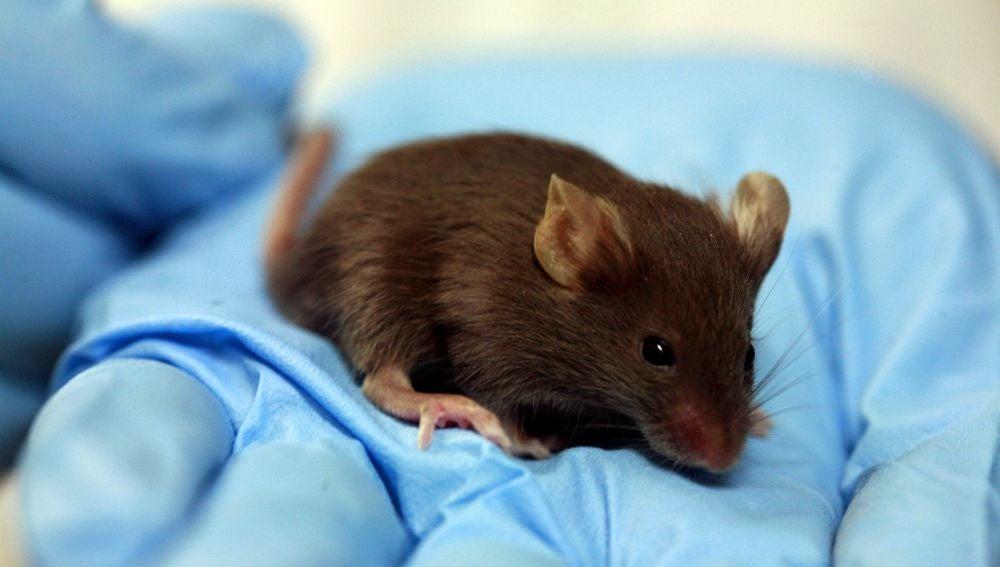 Un ratón de laboratorio