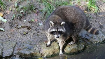 Imagen de un mapache