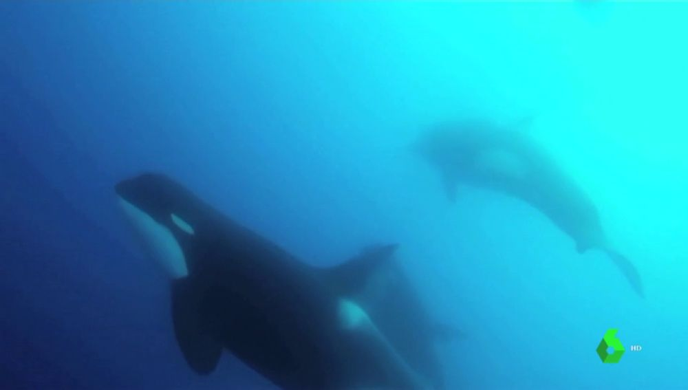 Orcas ordinarias