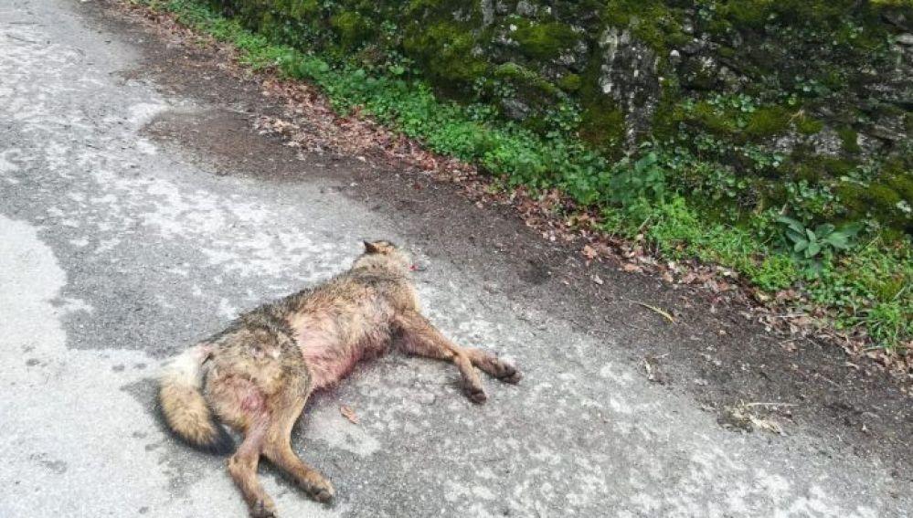 Lobo asesinado en Monterroso