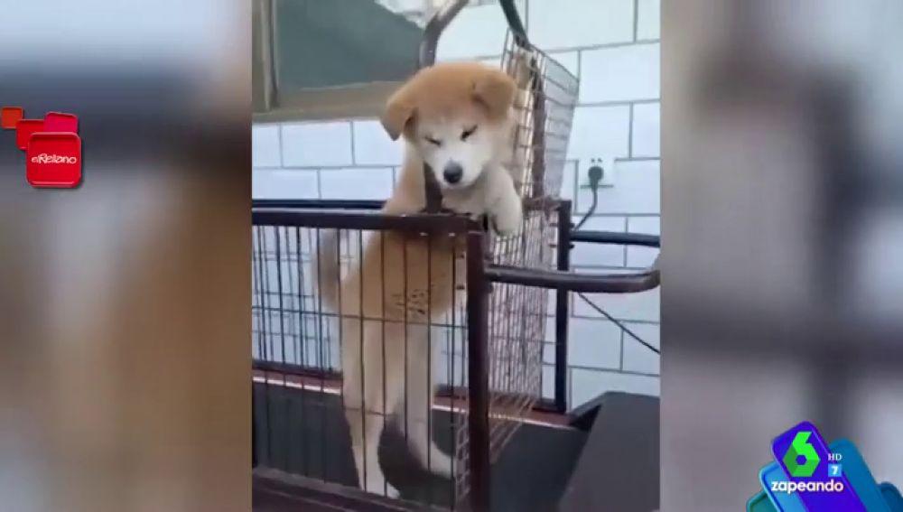 """El divertido vídeo de cómo un perro evita hacer ejercicio conquista Zapeando: """"¡Es muy perro!"""""""