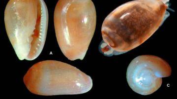 Ejemplares de Gibberula, género al que pertenece el caracol 'Metoo'