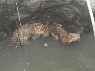 El complicado rescate de dos leopardos que cayeron a un pozo mientras se estaban peleando