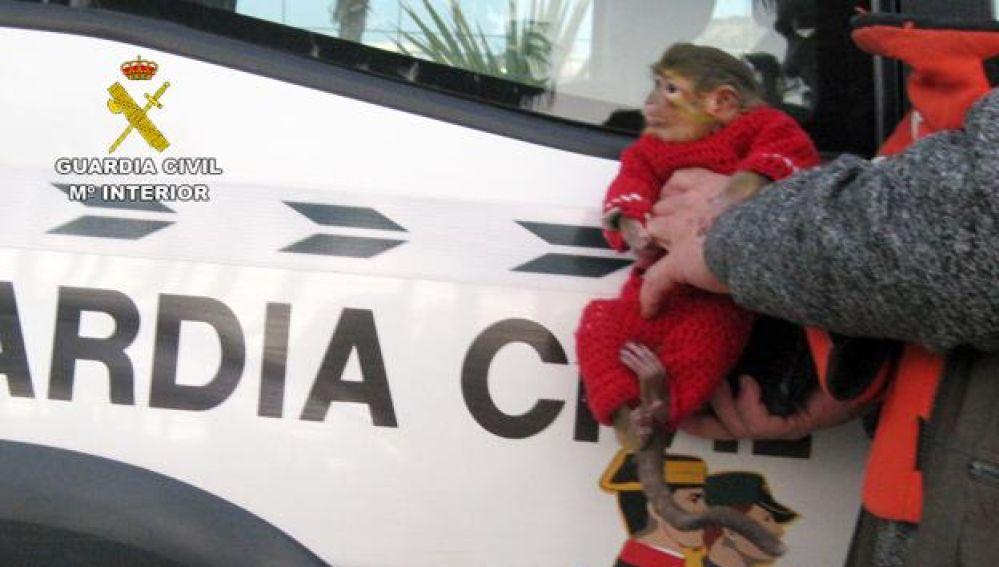 Ejemplar de mono tití rescatado por la Guardia Civil