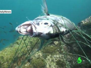 Animales mutilados o asfixiados: las terribles consecuencias de las redes de pesca abandonadas en las costas españolas