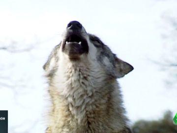 La expansión de los lobos, en peligro por la mano del ser humano