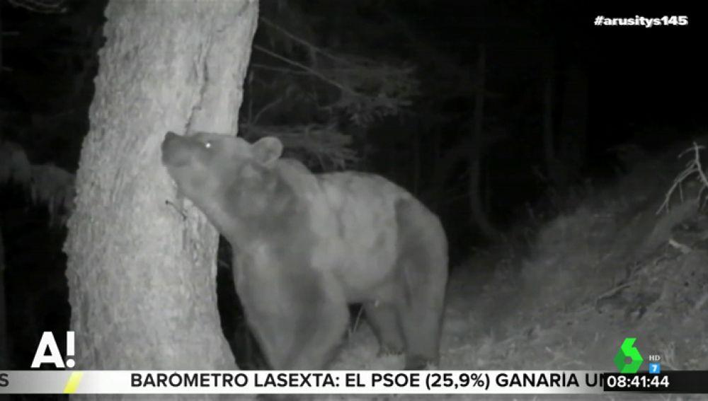 Pyros, el oso del que descienden la mayoría de ejemplares de los Pirineos
