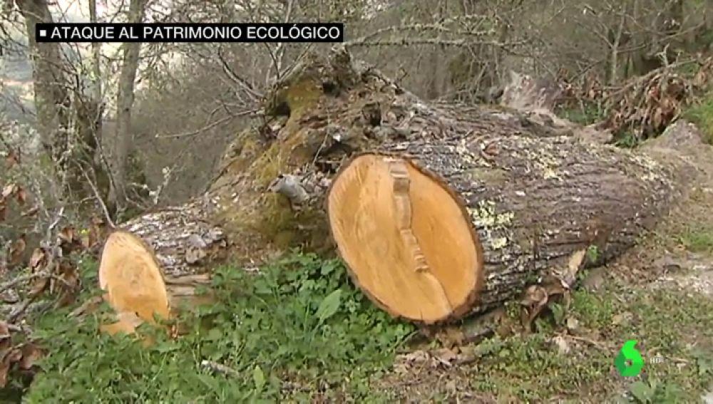 Ourense derriba decenas de robles centenarios y parte del muro de un monasterio de la Ribeira Sacra