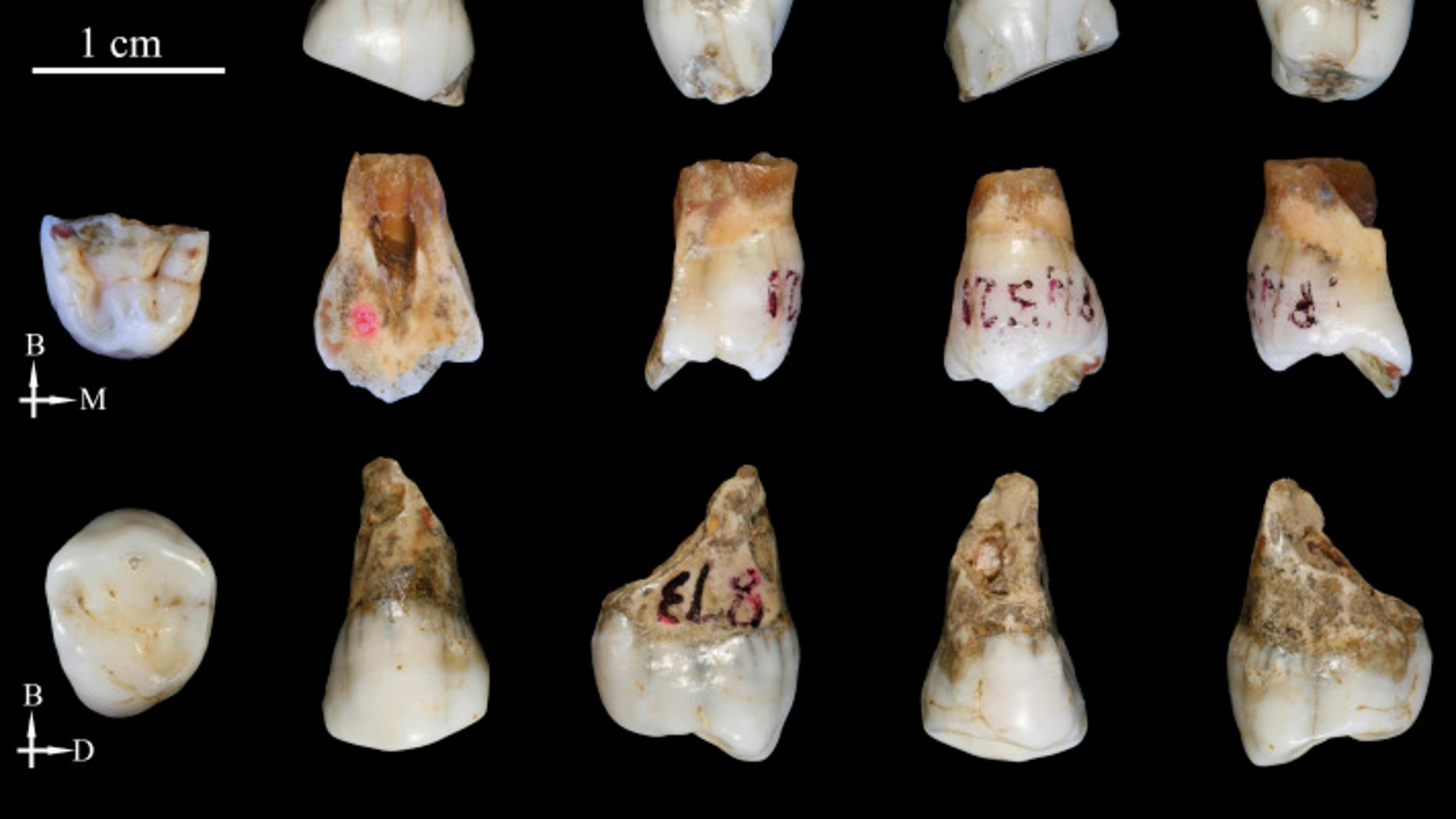 Los hominidos de Tongzi podrian ser un nuevo linaje humano en Asia