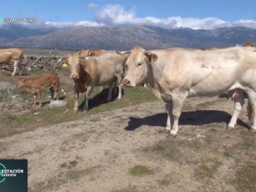 'Blonde de Aquitania', la enorme vaca que nace de tres especies diferentes