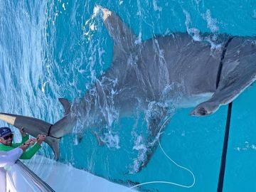 El tiburón martillo pescado por Greg Norman