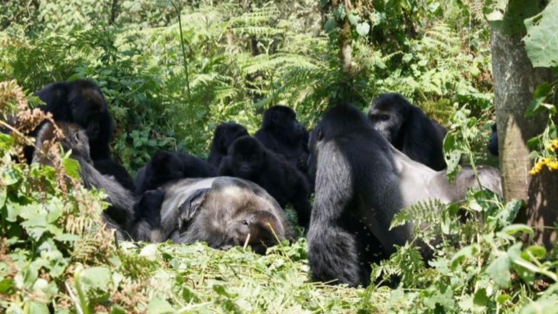 Los gorilas no solo velan los cadaveres de sus seres queridos tambien los desconocidos