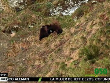 Publican las primeras imágenes de los osos de la Cordillera Cantrábica tras la hibernación