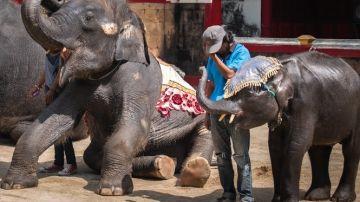 El elefante bebé está obligado a hacer varias actuaciones al día: se golpea la cabeza, toca instrumentos o realiza trucos.