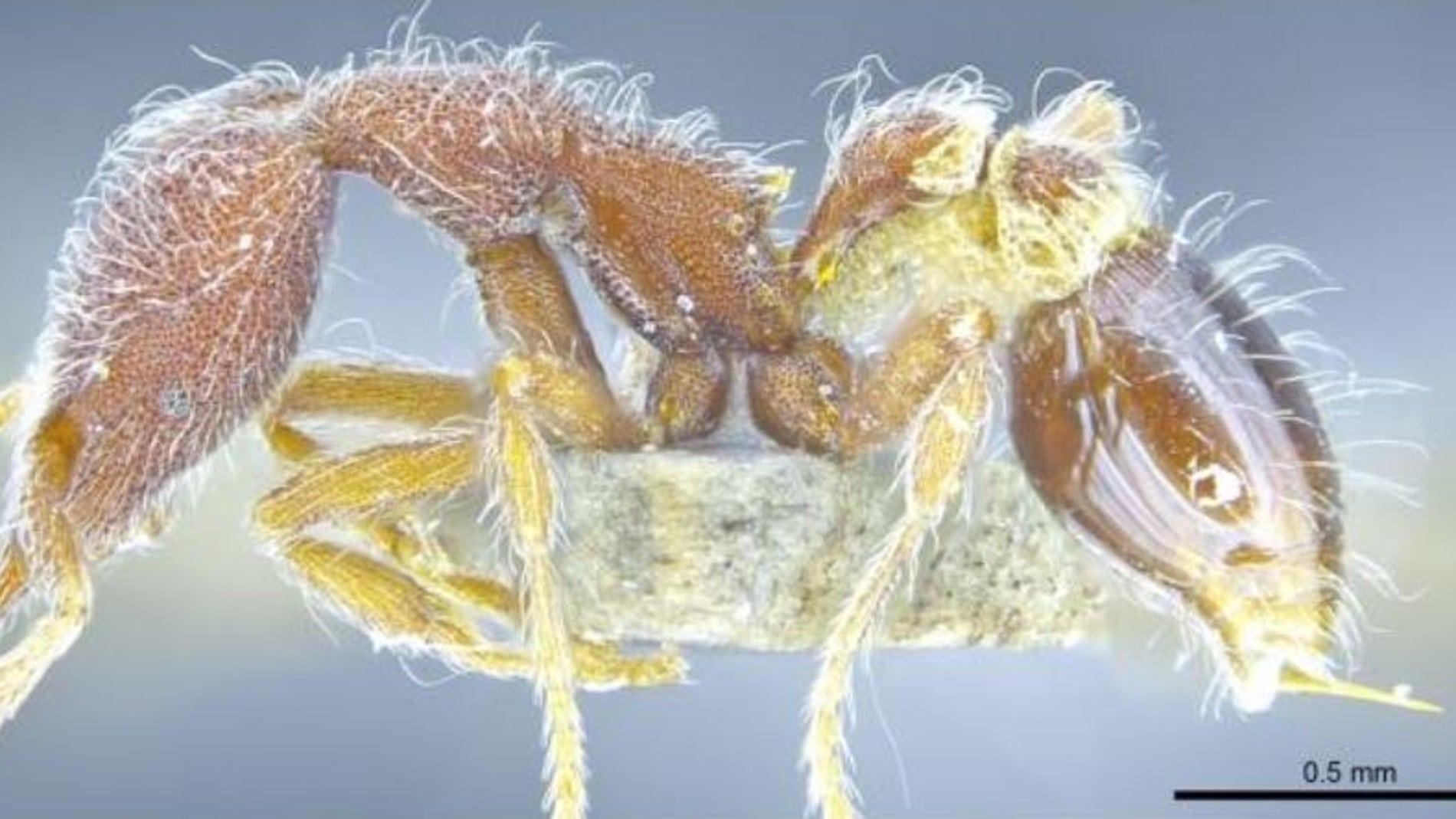 Trece nuevas especies de hormigas aparecen en Hong Kong