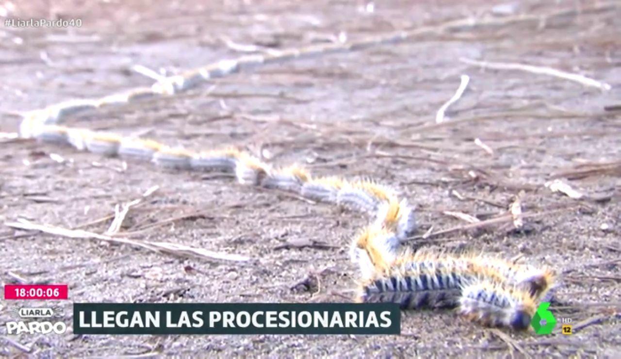 La cruzada contra las procesionarias, las tóxicas orugas que inundan los parques madrileños