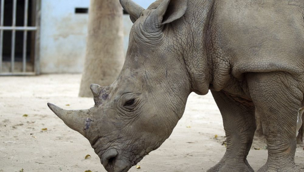 Interceptan un cargamento de cuernos de rinoceronte en Hong Kong
