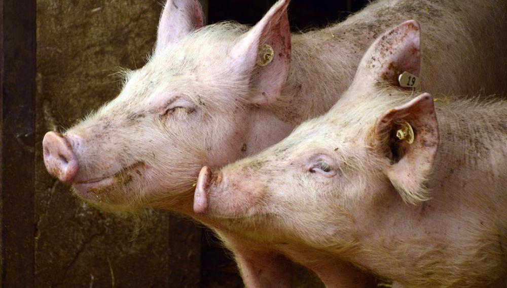 Imagen de dos cerdos