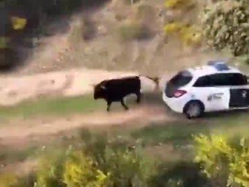 Un toro se escapa de una finca y embiste a tres coches patrulla en Galapagar