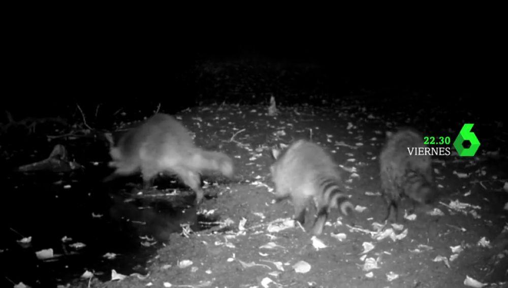 Equipo de Investigación analiza este viernes la invasión de los mapaches