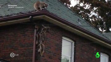 Pueden contagiar la tuberculosis y son muy agresivos, pero en pocos años los mapaches podrán invadir nuestras calles