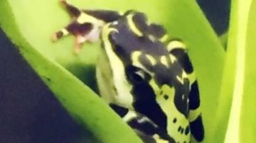 Imagen del anfibio visto por una estudiante universitaria en Ecuador