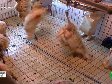 Así son las agresivas campañas de una fundación animalista española que denuncia situaciones extremas en algunos mataderos