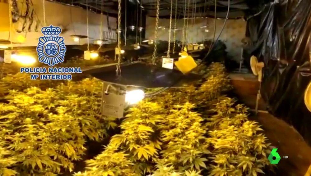 Cultivaba 480 plantas de marihuana para saldar una deuda de 47.000 euros