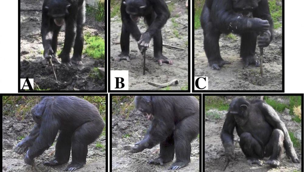 Chimpances cautivos utilizan herramientas para desenterrar alimentos
