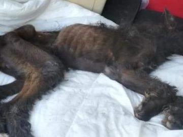 El animal desnutrido cuando llegó al veterinario