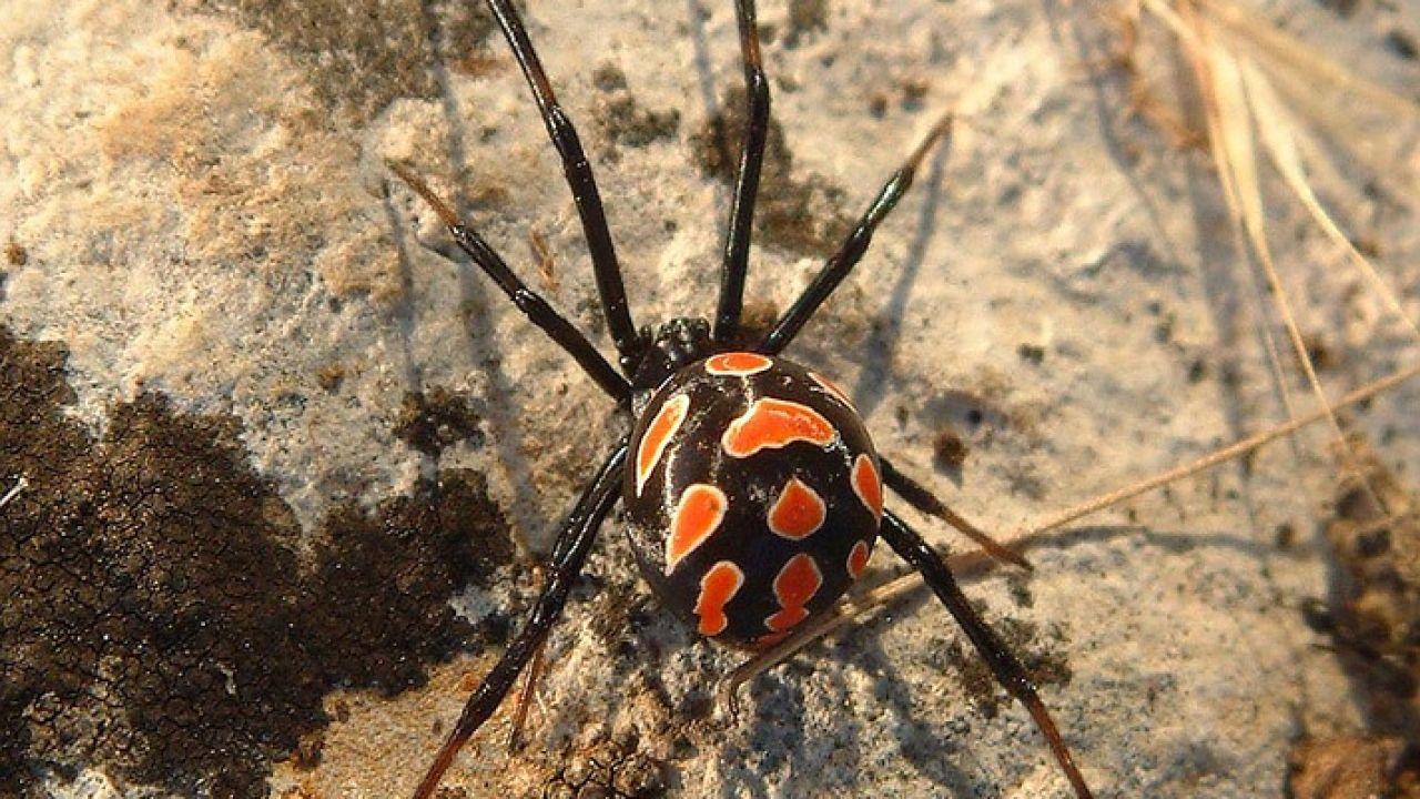 Imagen de archivo de una araña Viuda Negra