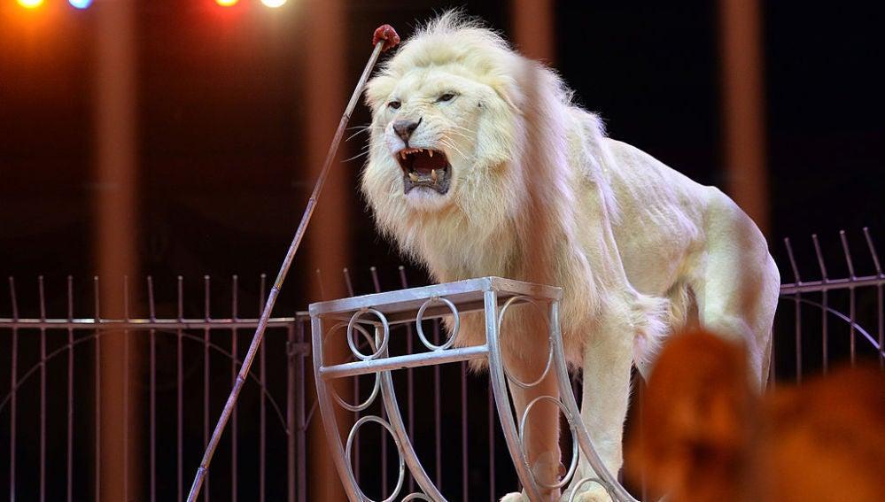 Un león en un espectáculo de circo