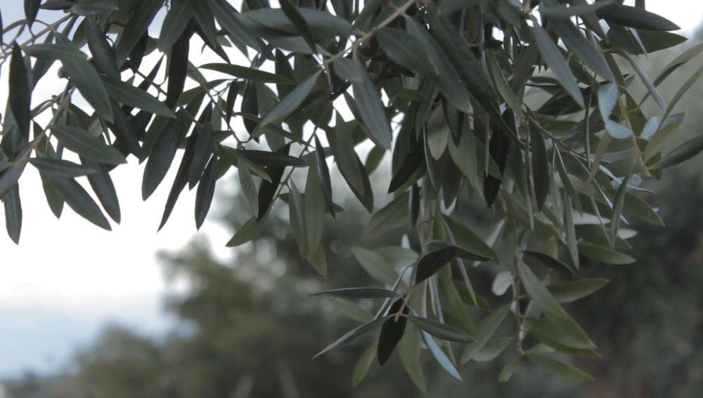 Crean una máquina para fabricar aceite de oliva en casa