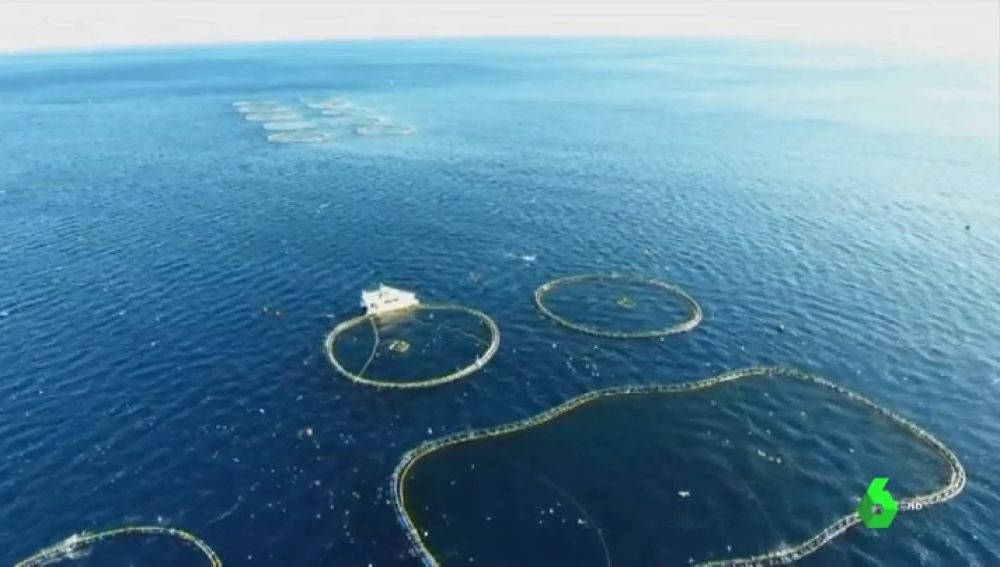 Pescan el atún rojo, lo introducen en una piscina y lo sacrifican cuando hay demanda: así funciona la pesquería más sostenible
