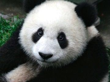 Podremos ver a los Pandas en realidad aumentada