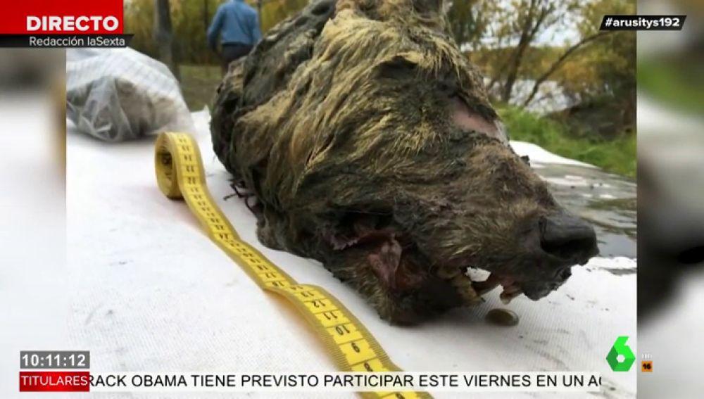 Encuentran la cabeza de un lobo gigante en Siberia de hace más de 40.000 años