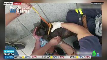 Impactantes imágenes: salvan la vida de un perro deshidratado en un balcón en Palma