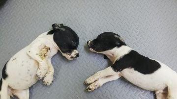 Los dos cachorros hallados en un contenedor en Llanes
