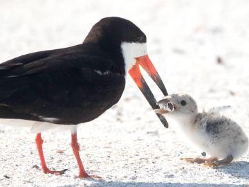 Imagen captada en una playa de Florida de un ave alimentando a su cría con una colilla de cigarro.